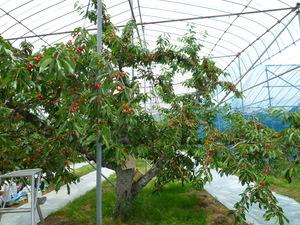 さくらんぼの木のサムネール画像