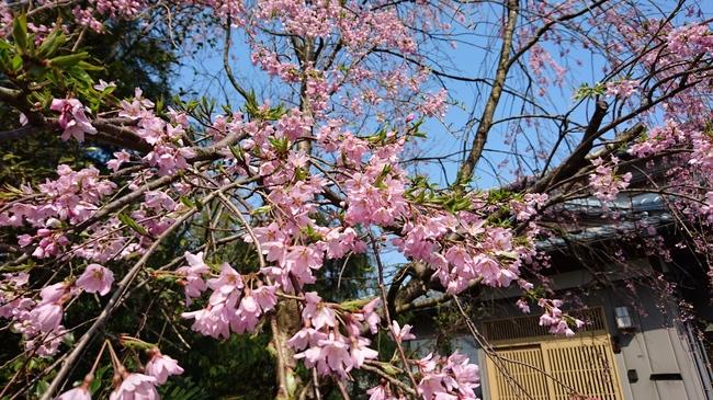 桜(4/6)